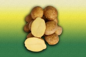 Картофель белорусской селекции Бриз :: ОАО Агромотоль