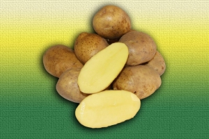 Картофель голландской селекции Эль Мундо :: ОАО Агромотоль