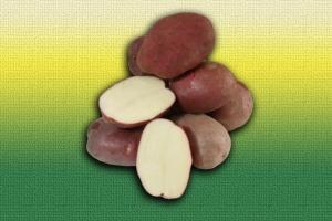 Картофель голландской селекции Роко :: ОАО Агромотоль