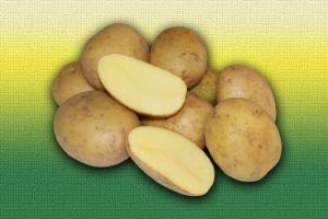 Картофель немецкой селекции Тоскана :: ОАО Агромотоль